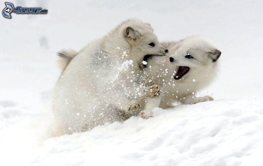 Jungtiere, Polarfuchs, Schnee