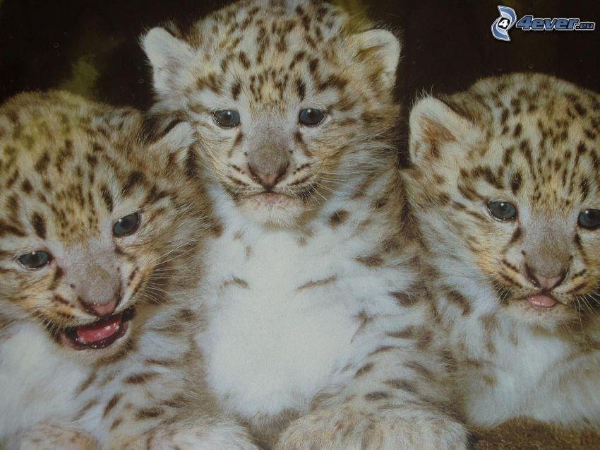 Jungtiere von Tiger, Jungtier
