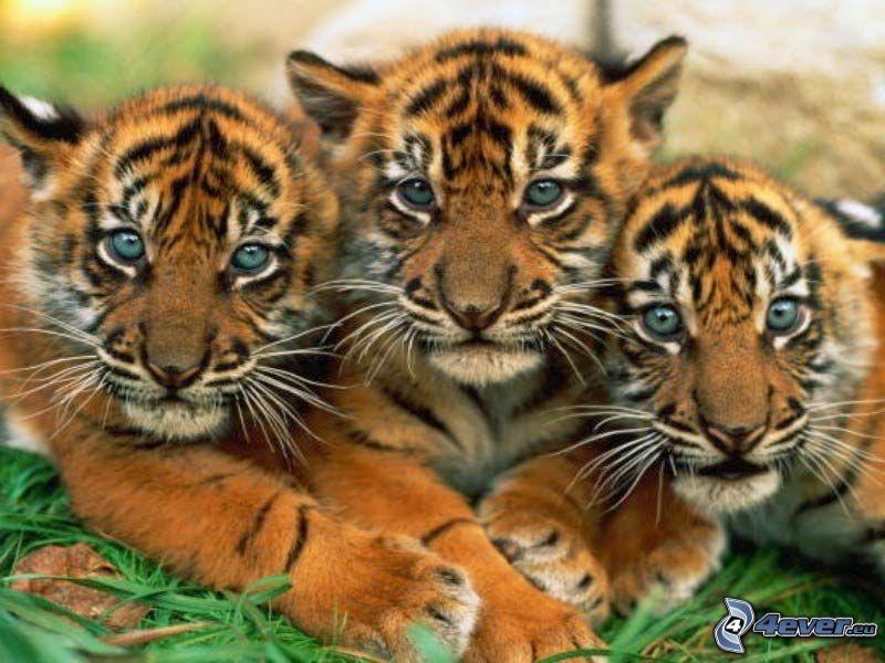 Jungtiere von Tiger