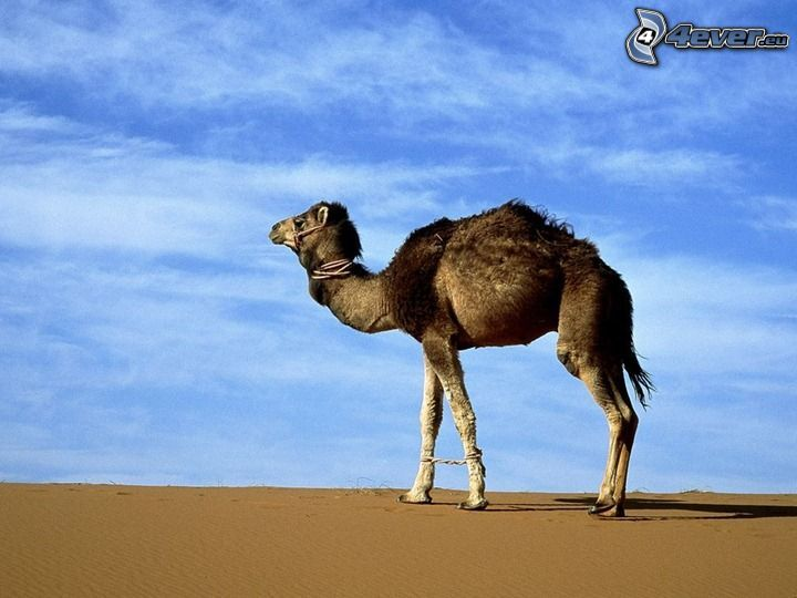 Kamel, Wüste, Himmel