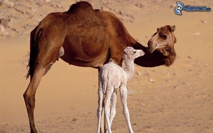 Kamele, junge Kamel