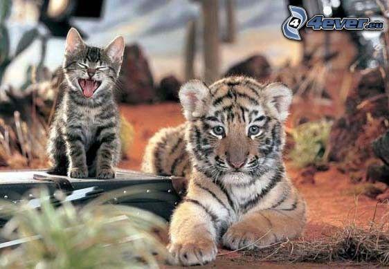 Katze, Tiger, Blick