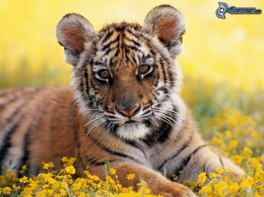 kleiner Tiger, Jungtier, Blumen