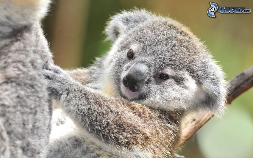 koala, Jungtier