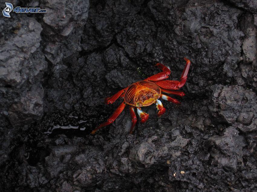Krabbe, Felsen