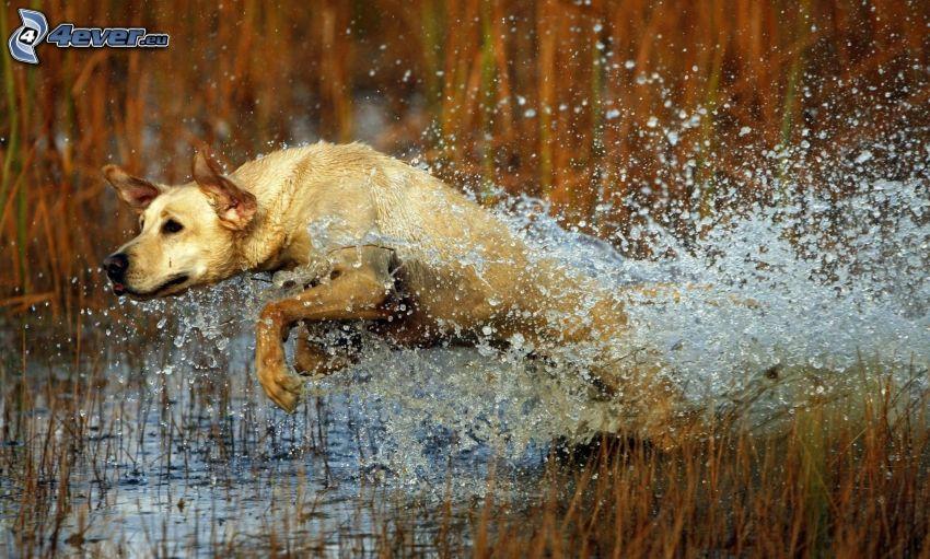 Labrador, Sumpf, Wasser, Laufen