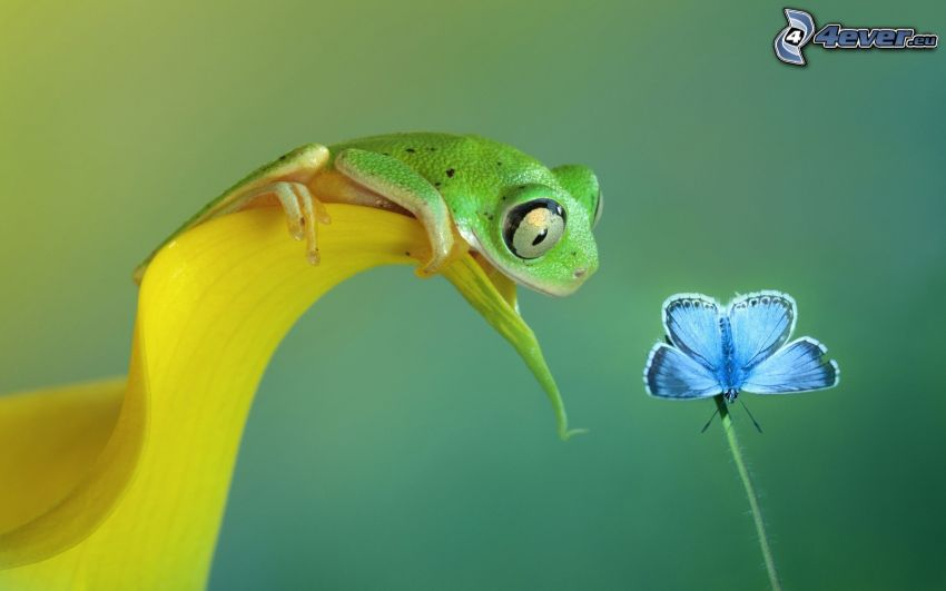 Laubfrosch, Blütenblatt, blauer Schmetterling