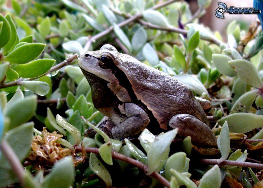 Laubfrosch, Frosch, Blätter