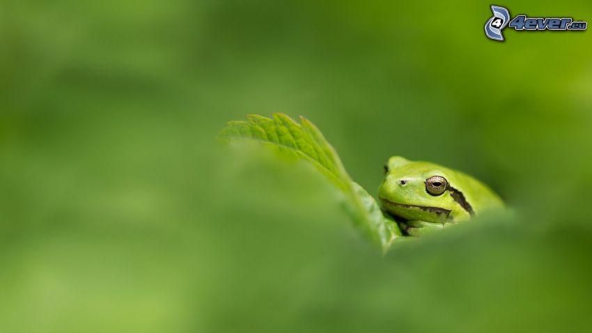 Laubfrosch, grünes Blatt