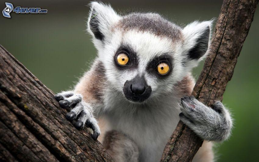 Lemur, Äste