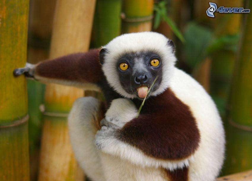 Lemur, bambus