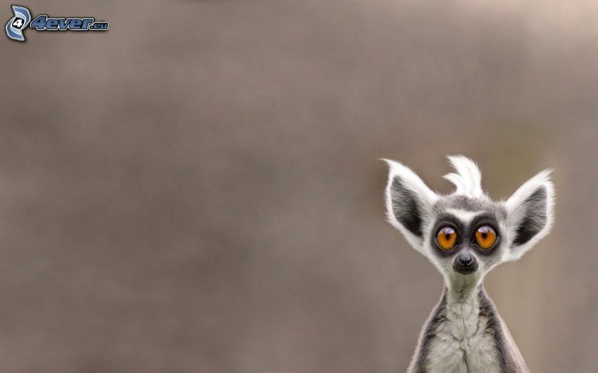 Lemur, große Augen