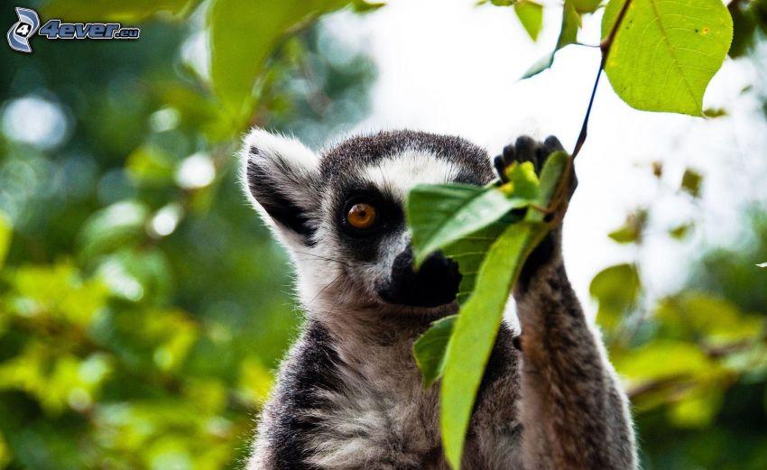 Lemur, Zweig