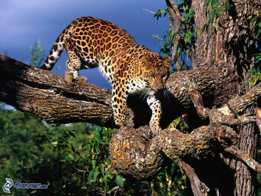Leopard, Äste, Baum