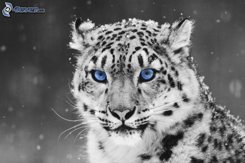 Leopard, blaue Augen, Schnee