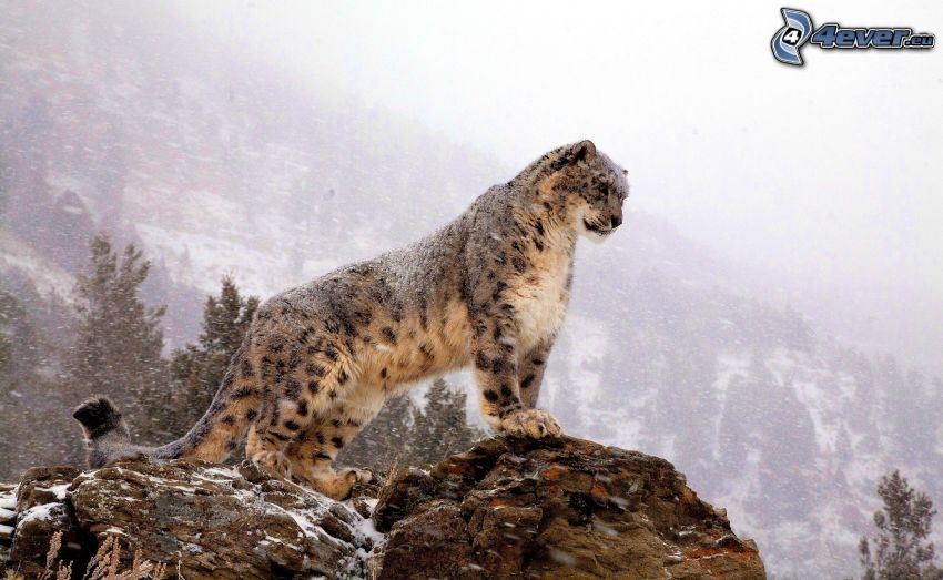 Leopard, Felsen, Schnee, Hügel