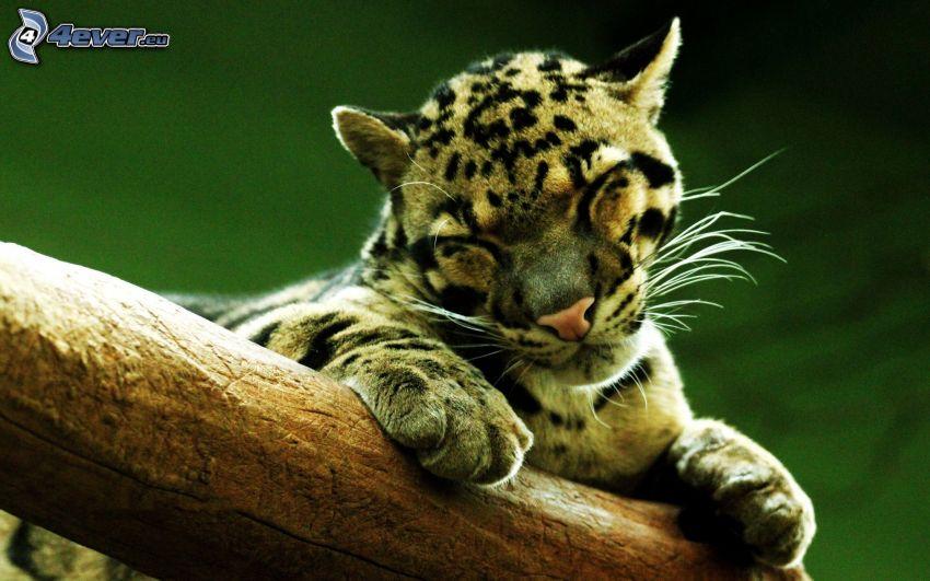 Leopard, Holz