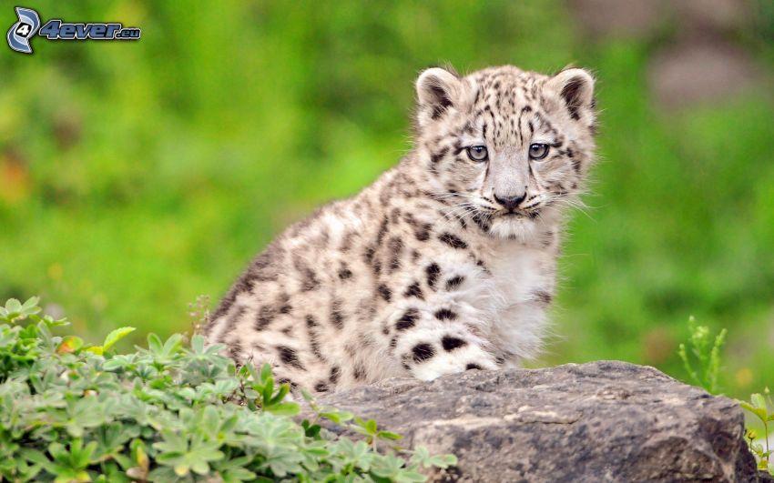 Leopard, Jungtier, Stein, grüne Blätter