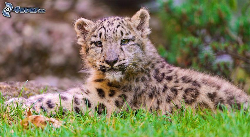 Leopard, Jungtier