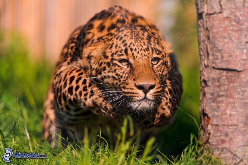Leopard, Laufen