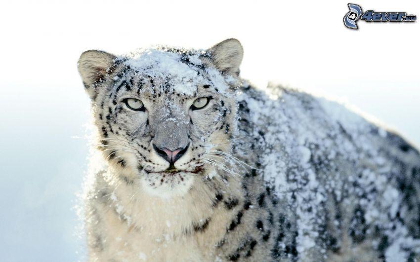 Leopard, Schnee