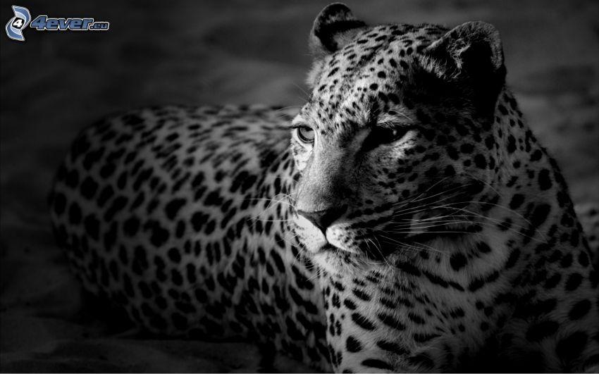 Leopard, schwarzweiß