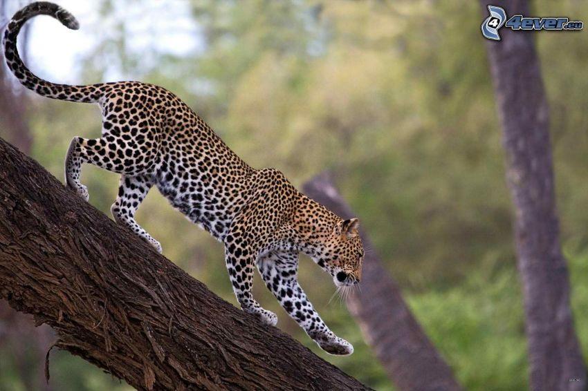 Leopard, Stamm