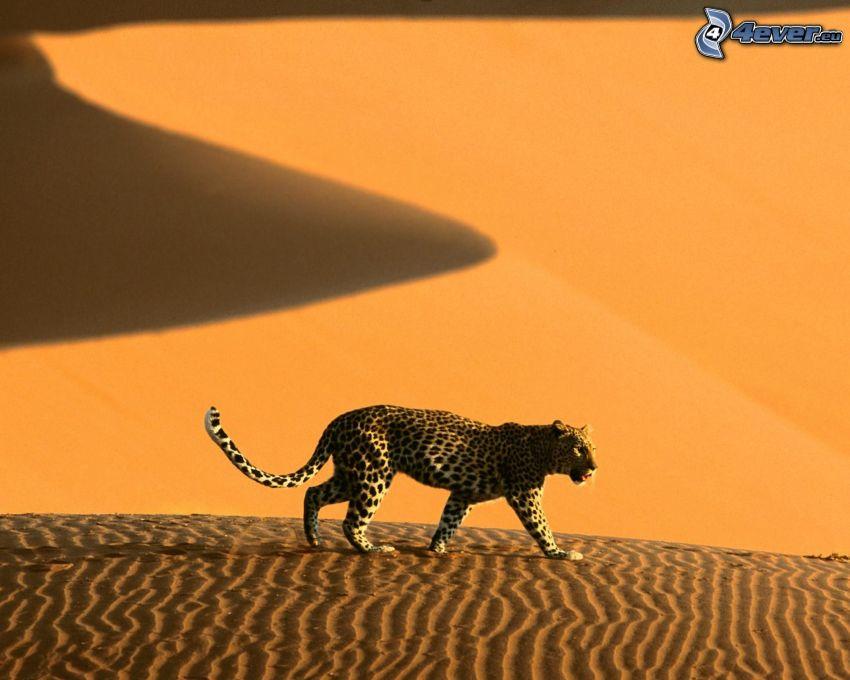 Leopard, Wüste