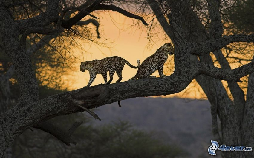 Leoparden, Bäume