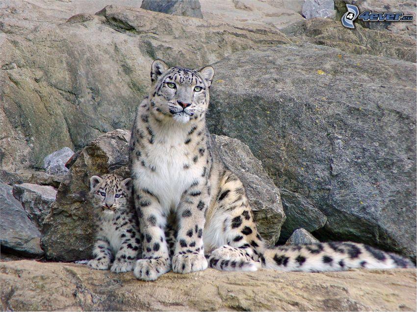 Leoparden, Jungtier, Felsen