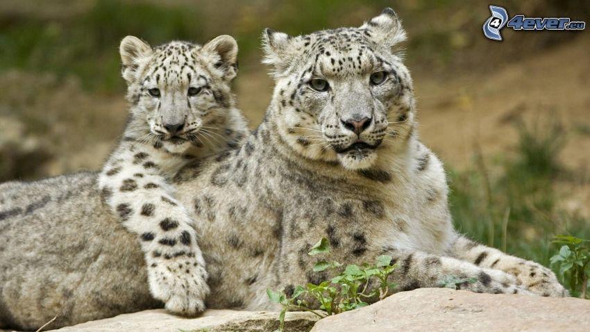Leoparden, Jungtier
