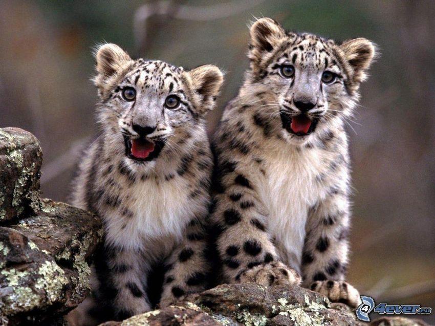 Leoparden, Jungtiere