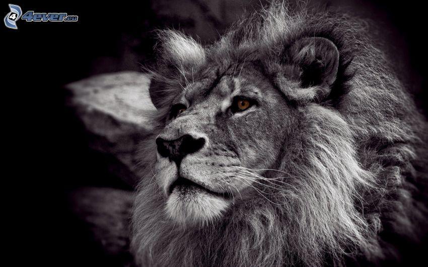 Löwe, schwarzweiß