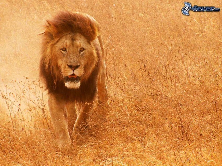 Löwe, trockenes Gras