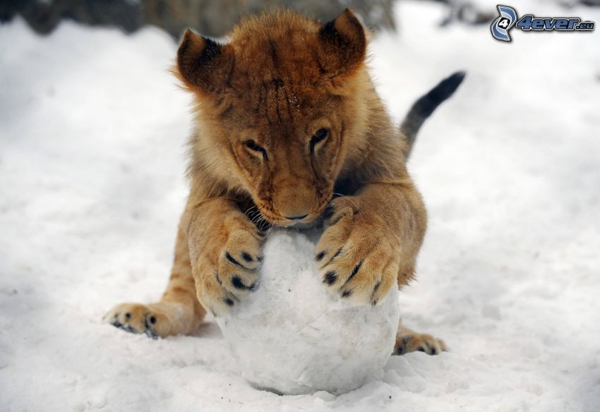 Löwe junge, Schnee