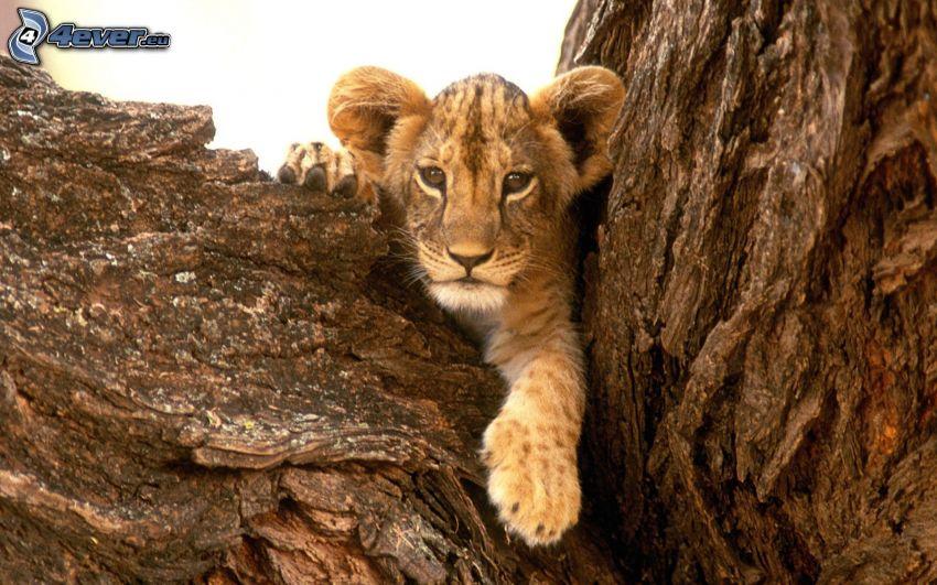 Löwe junge, Stamm