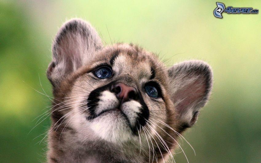 Löwe junge