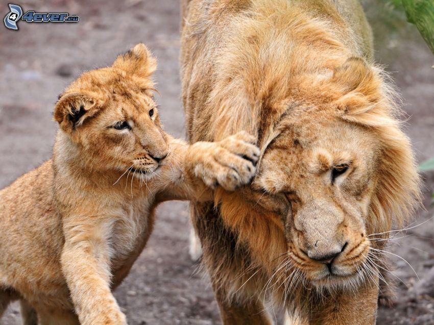 Löwe mit Cubs, Löwe junge