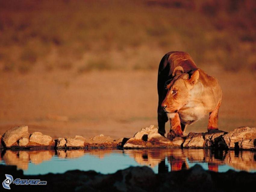 Löwin, Wasser, Wüste