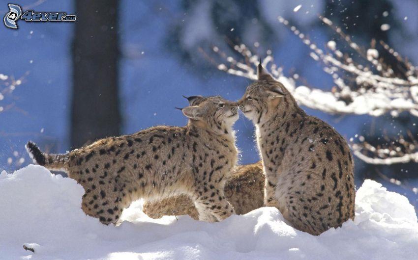 Luchse, Kuss, Schnee
