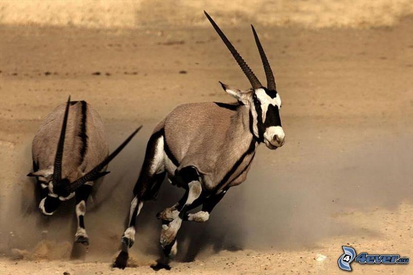 oryx, Laufen