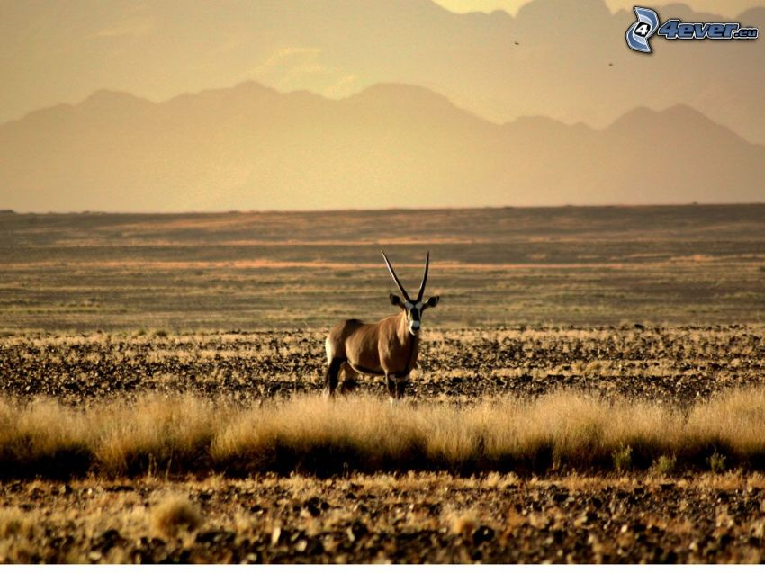 oryx, Savanne, Berge