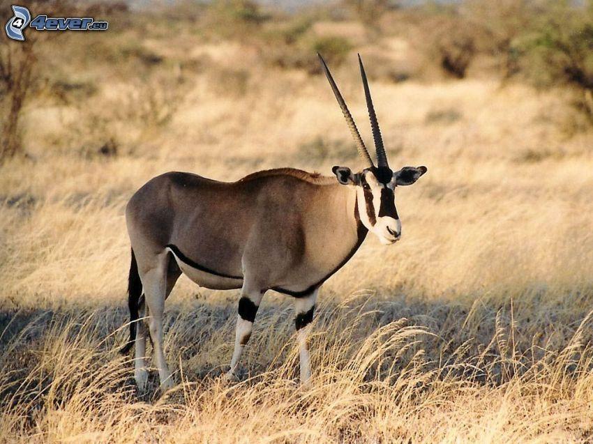 oryx, trockenes Gras