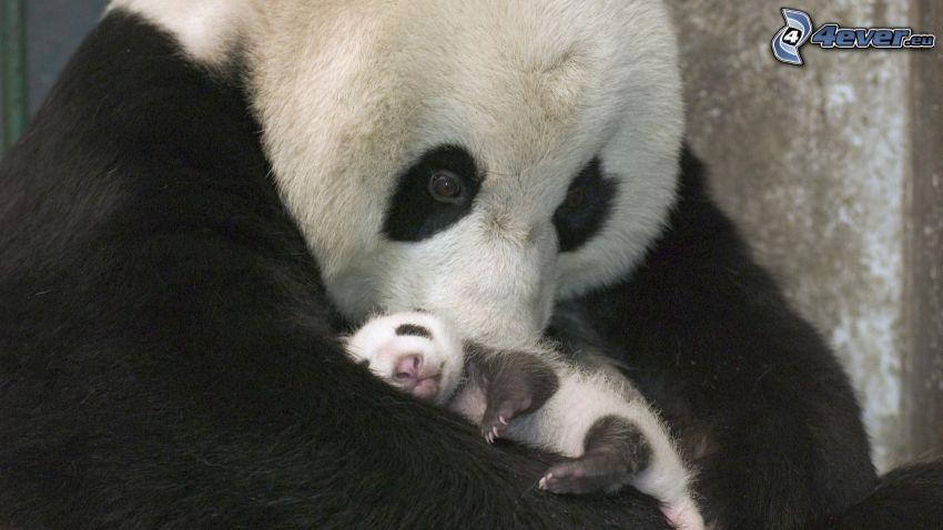 panda, Jungtier