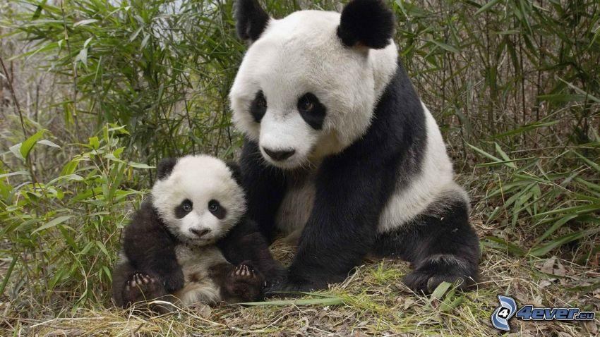 Pandas, Jungtier