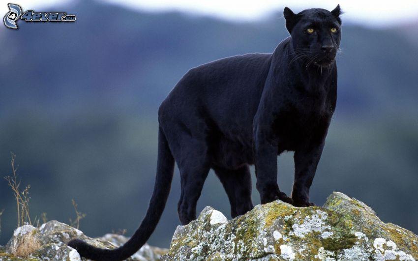 Panther, Felsen