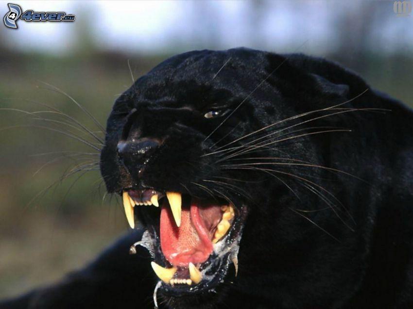 Panther, Gebrülle