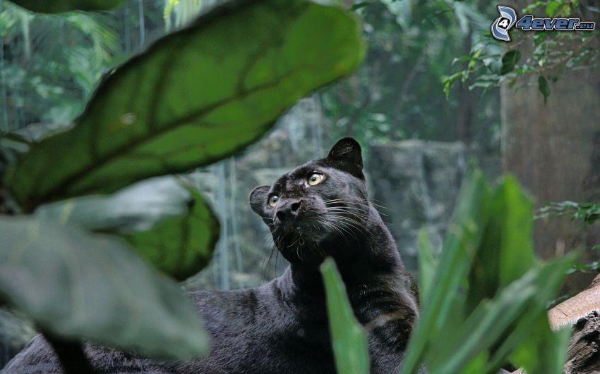 Panther, grünes Blatt