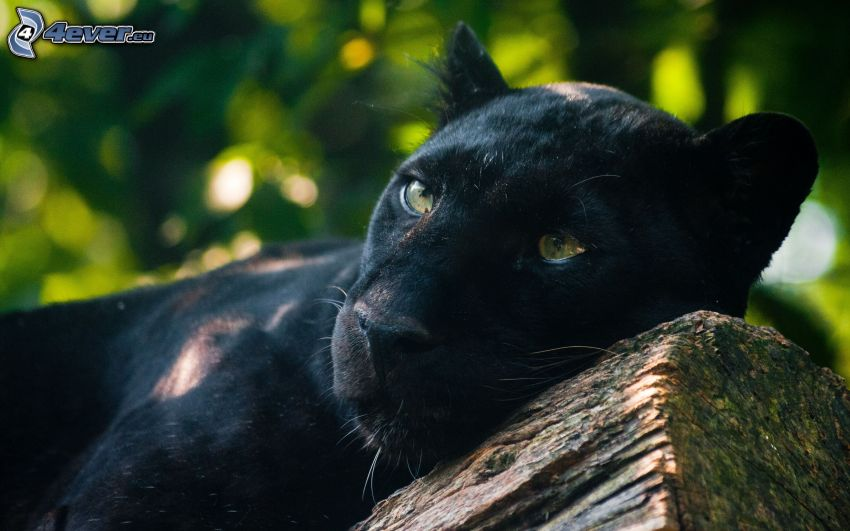 Panther, Holz