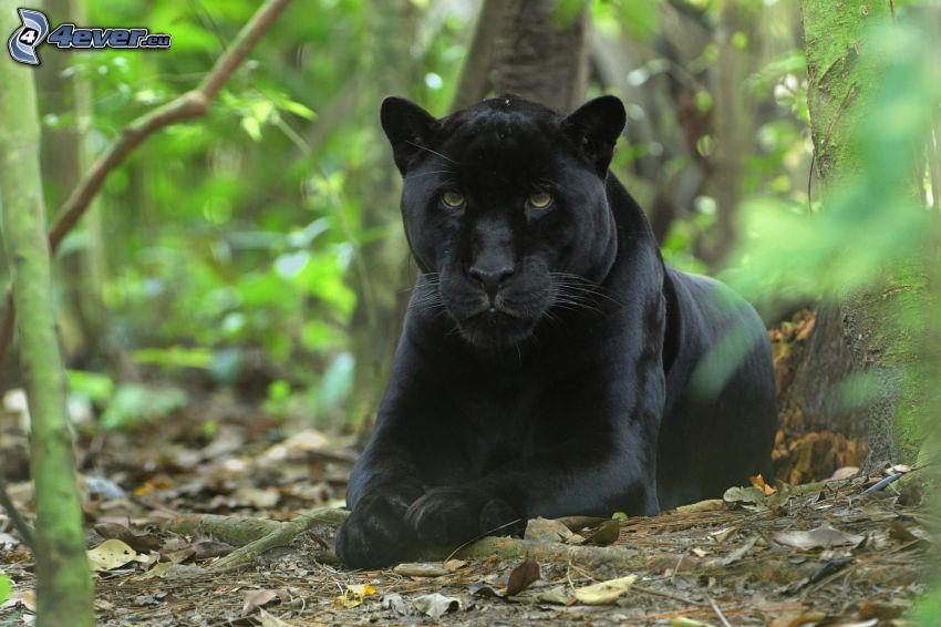 Panther, Wald